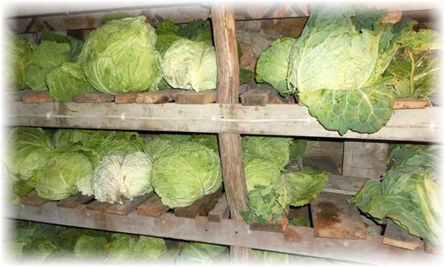 погреб под хранение капусты